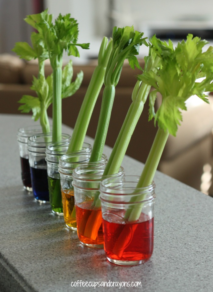 celery science experiment for kids coffee cups and crayons. Black Bedroom Furniture Sets. Home Design Ideas